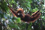 Orangutan santai di pohon