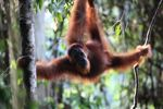 Orangutan tergantung di pohon