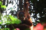 Orangutan makan bunga