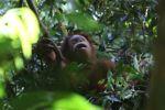 Orangutan di sarang