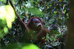 Orangutan makan pisang