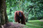 Orangutan di tanah