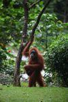 Ibu dan bayi orangutan di tanah