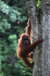 Ibu dan bayi orangutan di di pohon