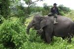Mahouts atop Sumatran elephants [sumatra_9224]