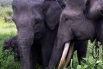 Sumatran elephants [sumatra_9228]