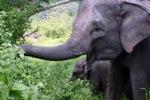 Sumatran elephants in Bukit Barisan Selatan National Park [sumatra_9253]