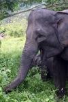Sumatran elephants in Bukit Barisan Selatan National Park [sumatra_9242]