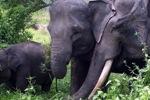 Sumatran elephants in Bukit Barisan Selatan National Park [sumatra_9255]