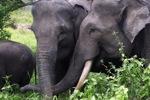 Sumatran elephants in Bukit Barisan Selatan National Park [sumatra_9273]