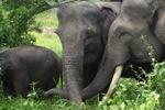 Gajah Sumatera di Bukit Barisan Selatan National Park