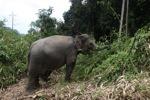 Sumatran elephants in Bukit Barisan Selatan National Park [sumatra_9269]