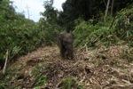 Sumatran elephants in Bukit Barisan Selatan National Park [sumatra_9277]