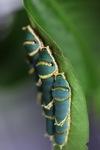 Caterpillars [sumatra_9359]