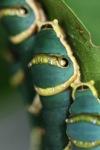 Caterpillars [sumatra_9363]
