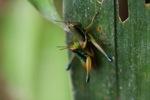 Multicolored grasshoppers mating [sumatra_9389]
