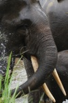 Sumatran elephant washing