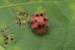 Red beetle with black spots [sumatra_9418]