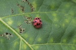 Red beetle with black spots [sumatra_9420]