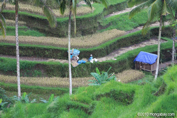 Akankah kedaulatan pangan yang dicitakan Indonesia terwujud? Petani, sang pahlawan pangan, nasibnya tidak boleh dilupakan. Foto: Rhett Butler