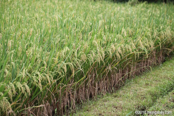 Pertanian merupakan sektor andalan Indonesia yang harus terus diperhatikan. Foto: Rhett Butler