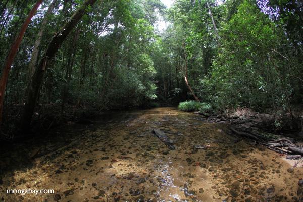 Rain forest creek in Gunung Palung, Indonesian Borneo
