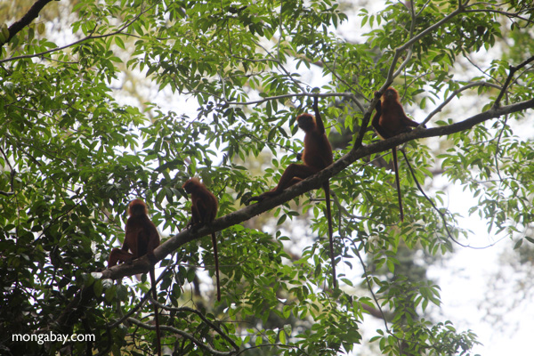 Red Leaf Monkeys [kalbar_0561]
