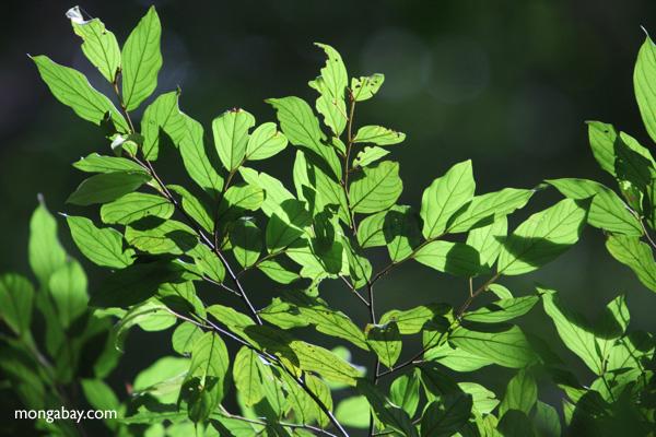 Sunlit rainforest leaves