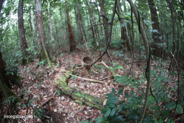 Bird nest in the rainforest