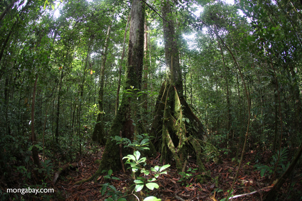 Rainforest in West Kalimantan, Borneo