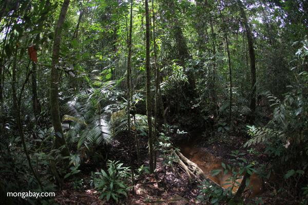 Rainforest in West Kalimantan