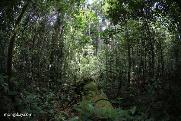 Rainforest in West Kalimantan