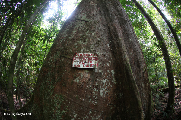 Sign warning that a tree is spiked to protect it from illegal logging in Indonesia's Gunung Palung National Park.