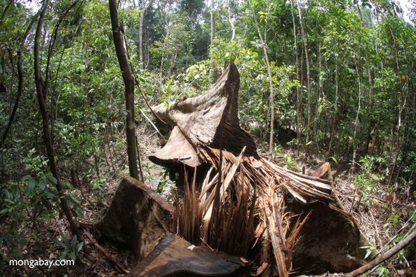 Illegally logged rainforest tree in Indonesian Borneo. Photo by: Rhett A. Butler.