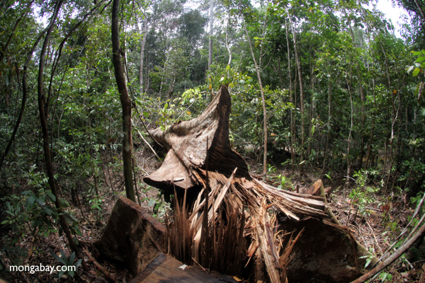 Illegal logged tree in Indonesian Borneo. Photo by: Rhett A. Butler.