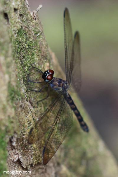Red-eyed dragonfly [kalbar_1607]