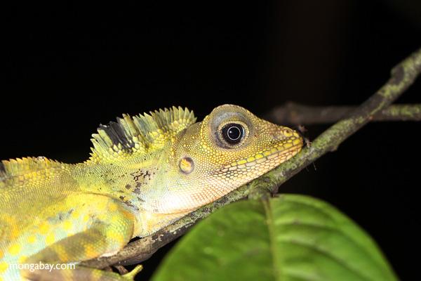 Green water dragon in Borneo.