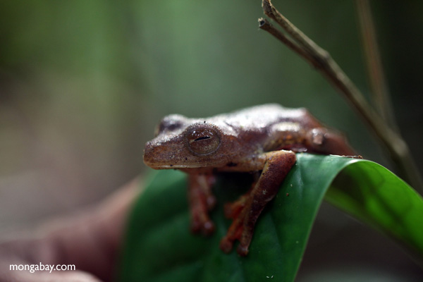 Flying tree frog (Rhacophorus pardalis) in West Kalimantan, Indonesia