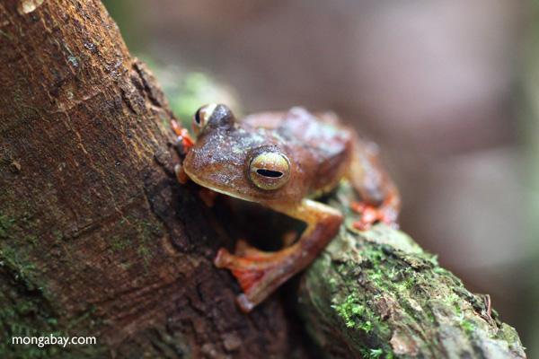 Bornean Flying leopard tree frog (Rhacophorus pardalis) [kalbar_1990]