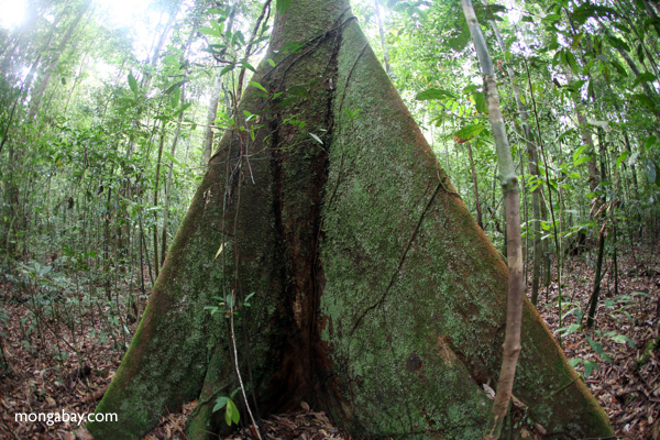 Triangular buttress roots in Indonesian Borneo