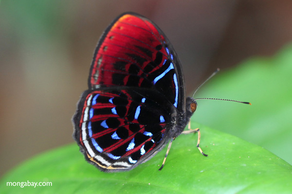 Malay Red Harlequin (Paralaxita damajanti) in Indonesian Borneo.