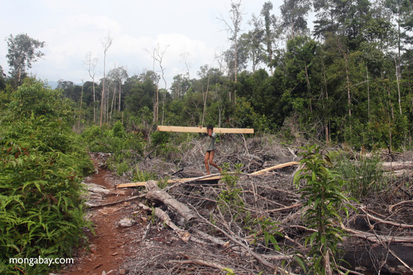 No pictures please: Illegal logger harvesting timber. On a recent trip to Borneo, Rhett Butler caught photographic evidence of illegal logging in Gunung Palung National Park. Photos by Rhett A. Butler, 2011.