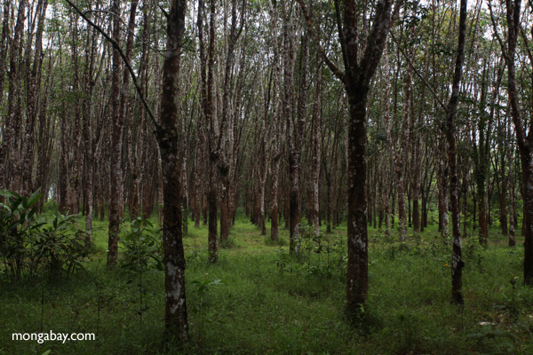 Rubber tree plantation. Photo by Rhett Butler.
