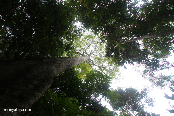 Giant rainforest tree in Taman Hutan Raya