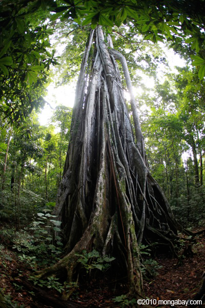 Strangler fig in North Sulawesi