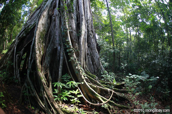 Strangler fig in Sulawesi. Photo by Rhett A. Butler