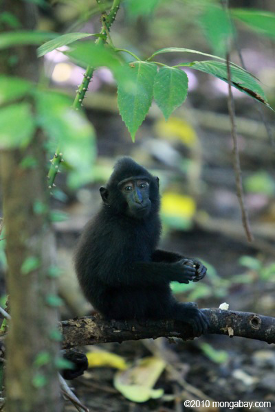 Infant crested black macaque. Photo by: Rhett A. Butler.