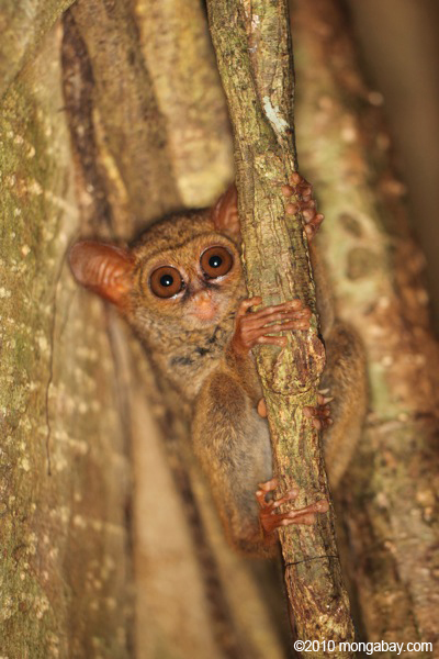 Tarsier in Indonesia. Photo by: Rhett A. Butler.