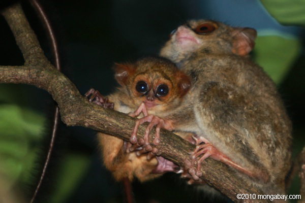Mother and baby Tarsier in Tangkoko