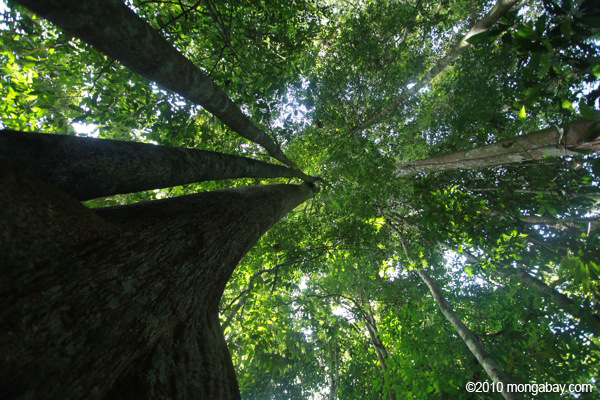 Rainforest canopy seen from the base of a compass tree 